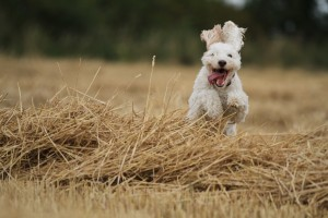 Gus jumping straw lines, with his big floppy ears swinging around the place!